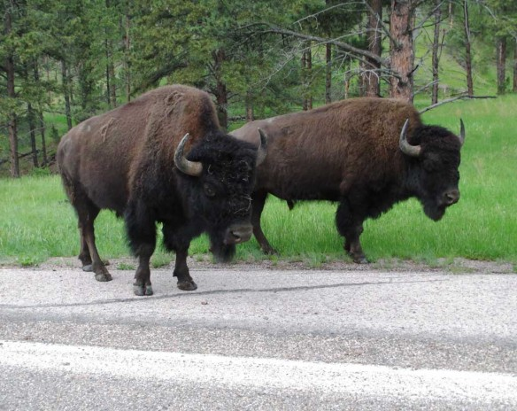 Buffalo by the side of the road